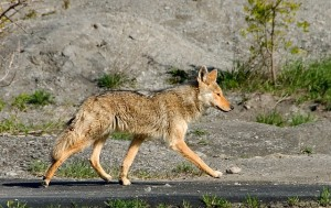 pets safe from coyotes